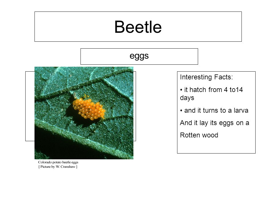 Beetle eggs Interesting Facts: it hatch from 4 to14 days