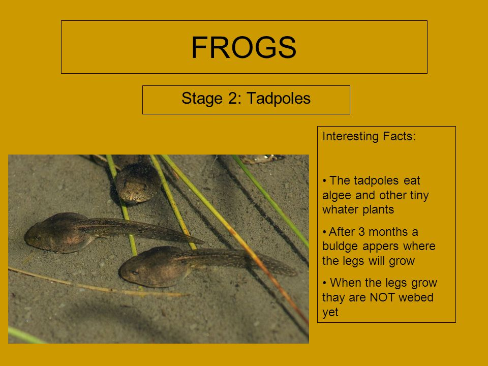FROGS Stage 2: Tadpoles Interesting Facts: