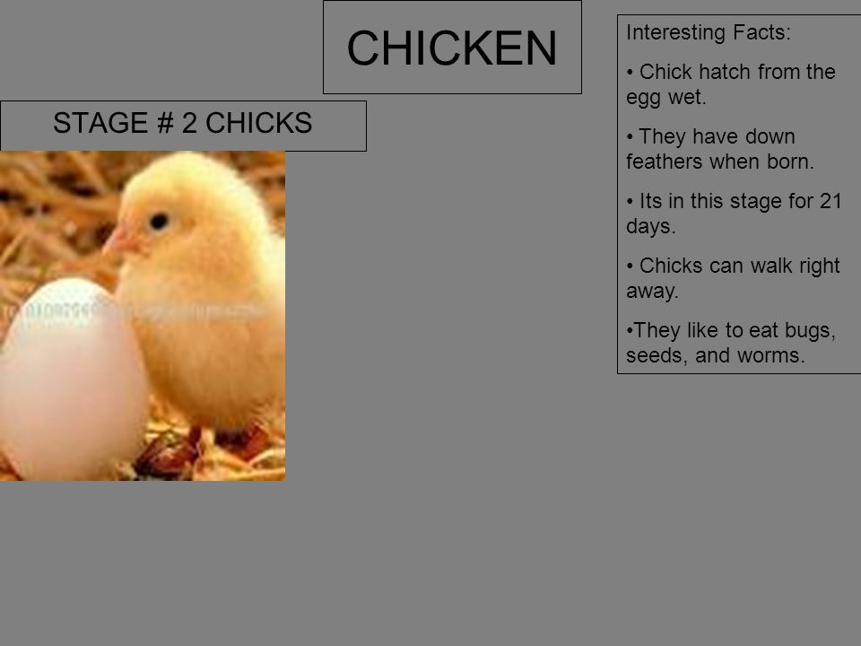 CHICKEN STAGE # 2 CHICKS Interesting Facts: