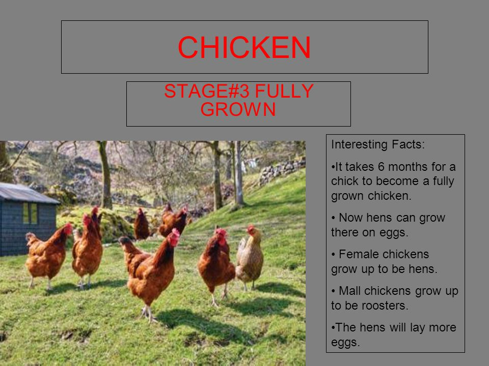 CHICKEN STAGE#3 FULLY GROWN Interesting Facts: