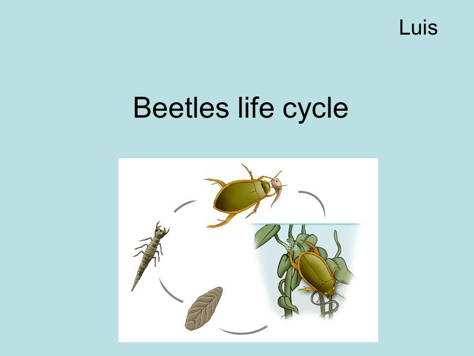 Luis Beetles life cycle