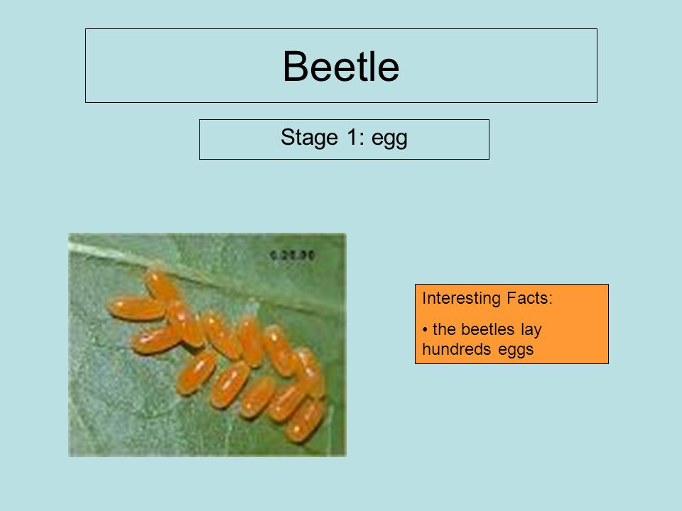 Beetle Stage 1: egg Interesting Facts: the beetles lay hundreds eggs