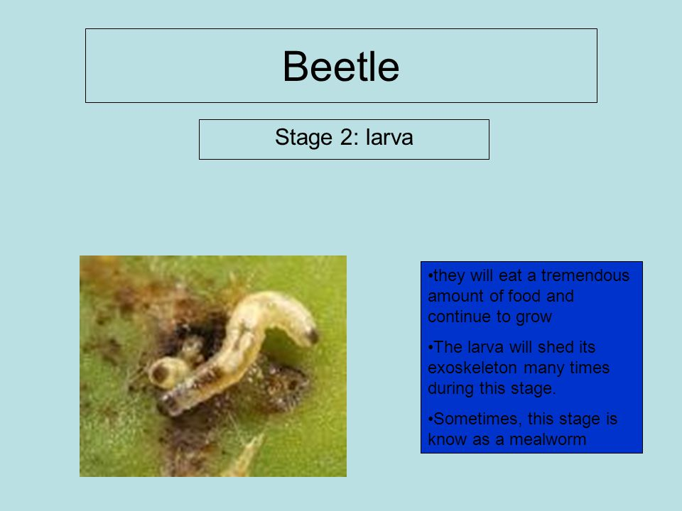 Beetle Stage 2: larva. they will eat a tremendous amount of food and continue to grow.