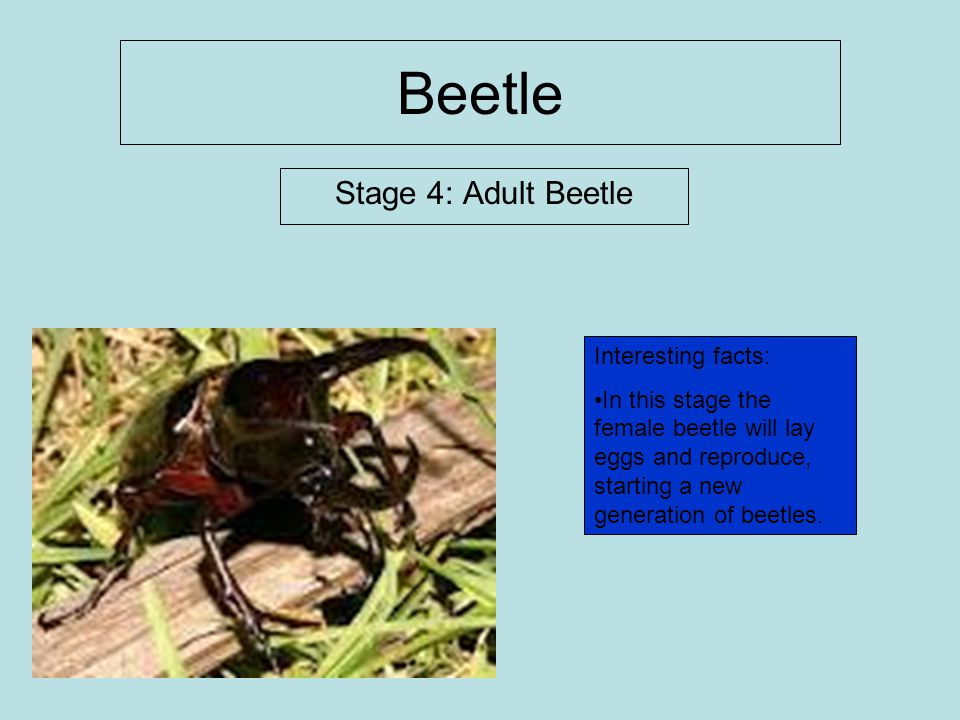Beetle Stage 4: Adult Beetle Interesting facts: