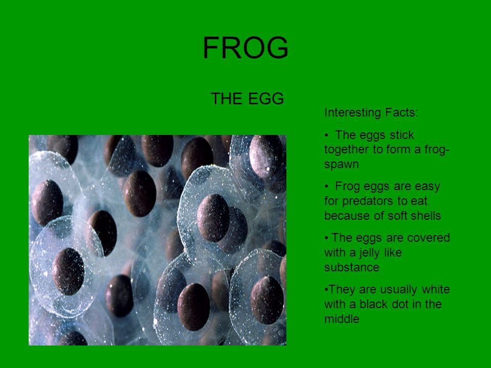 FROG THE EGG Interesting Facts: