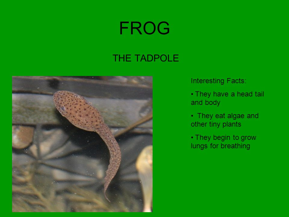 FROG THE TADPOLE Interesting Facts: They have a head tail and body