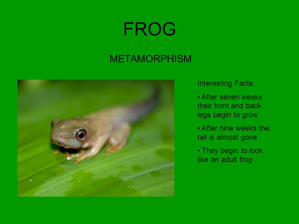 FROG METAMORPHISM Interesting Facts: