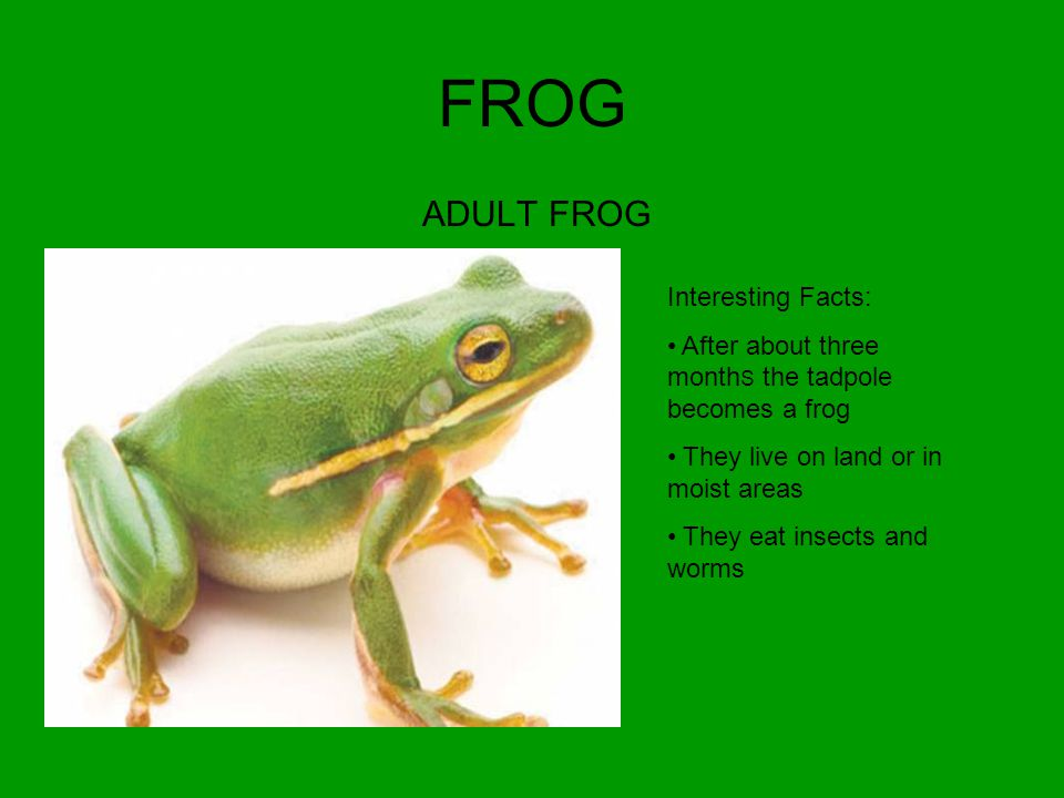 FROG ADULT FROG Interesting Facts: