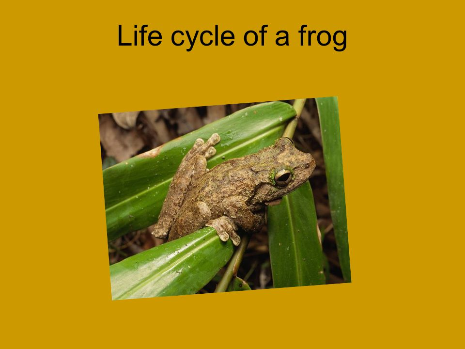 Life cycle of a frog Michael Picture