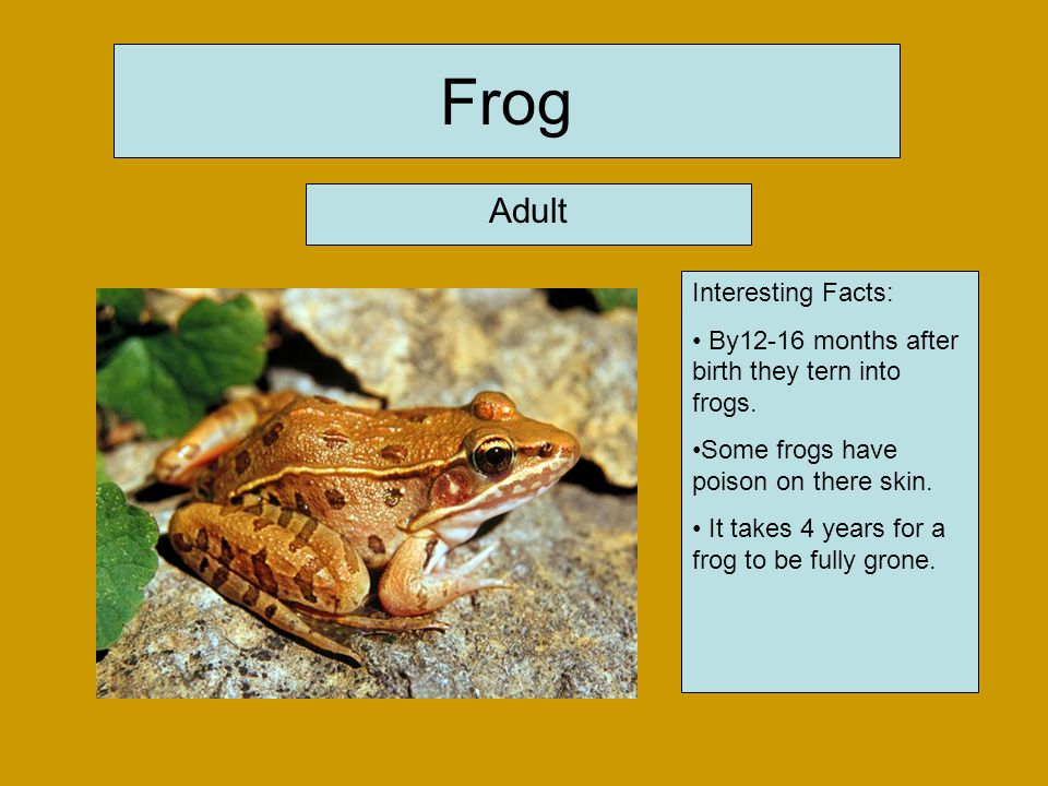 Frog Adult Interesting Facts: