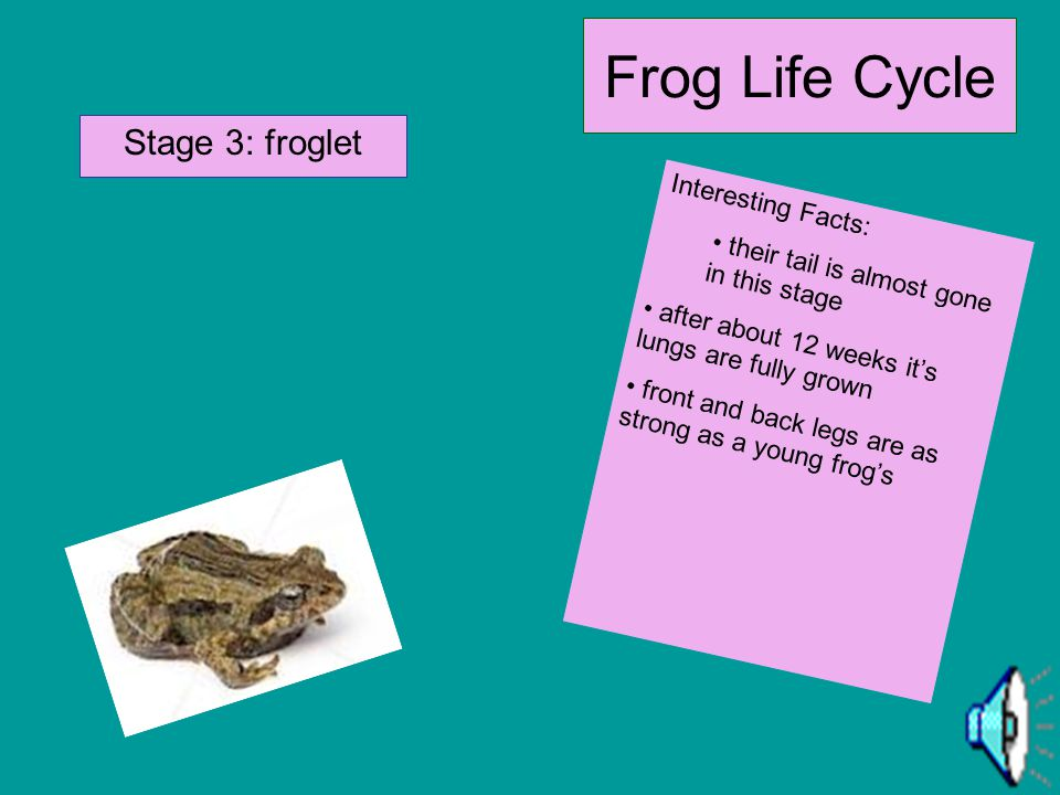 Frog Life Cycle Stage 3: froglet Interesting Facts:
