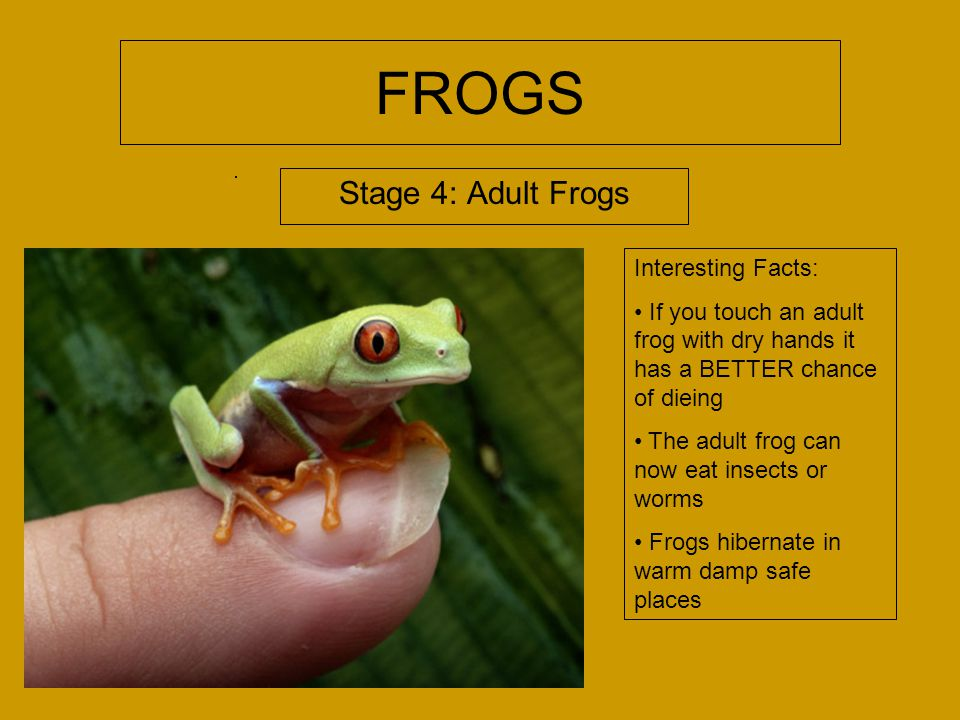 FROGS Stage 4: Adult Frogs Interesting Facts: