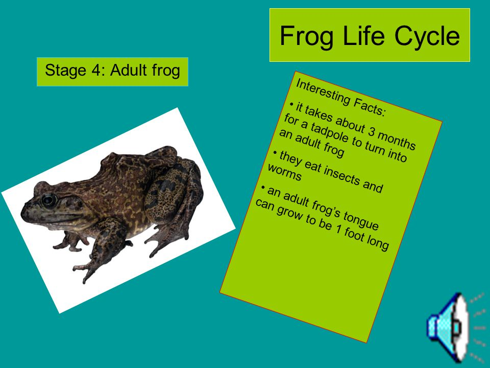 Frog Life Cycle Stage 4: Adult frog Interesting Facts:
