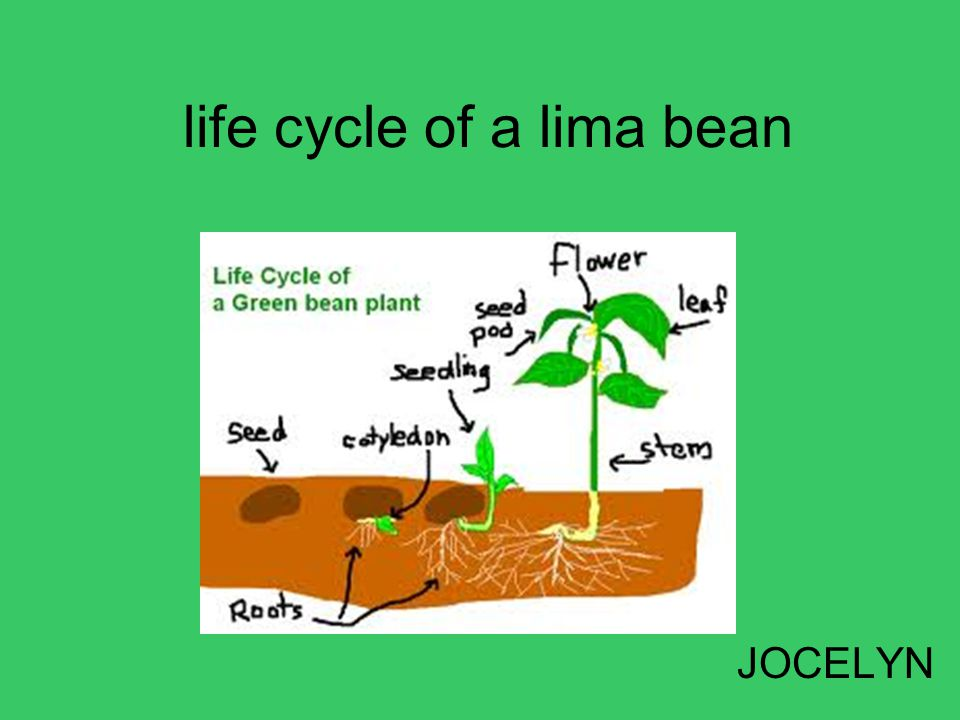 Bean plant life cycle