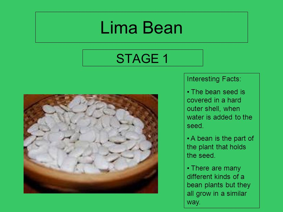 Lima Bean STAGE 1 Interesting Facts: