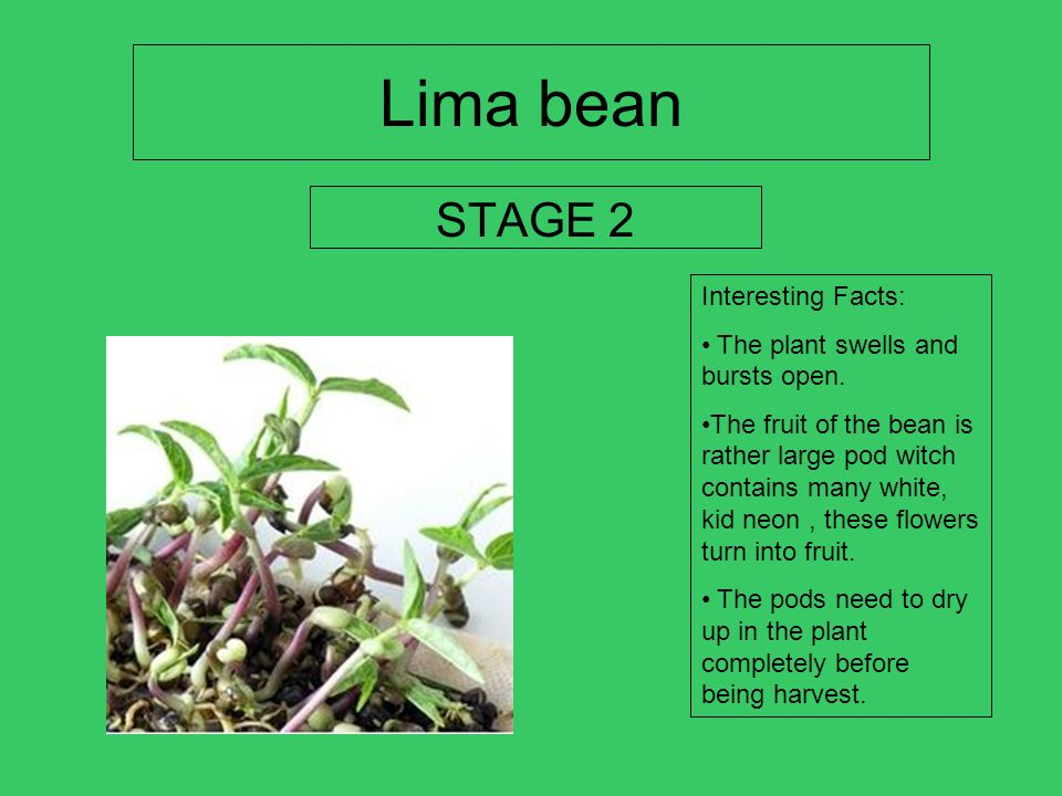 Lima bean STAGE 2 Interesting Facts: The plant swells and bursts open.