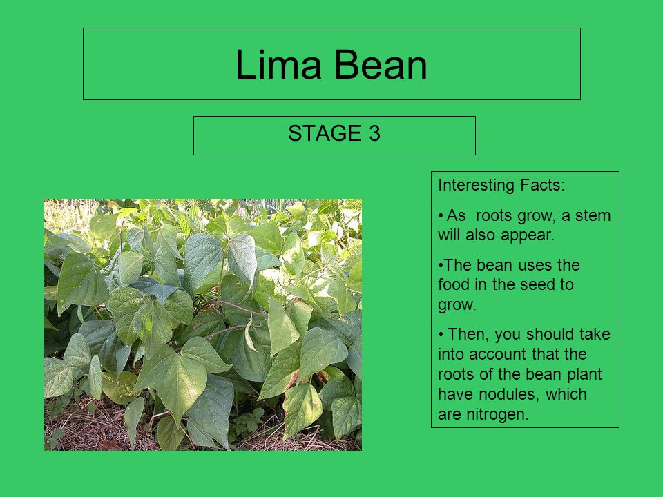 Lima Bean STAGE 3 Interesting Facts: