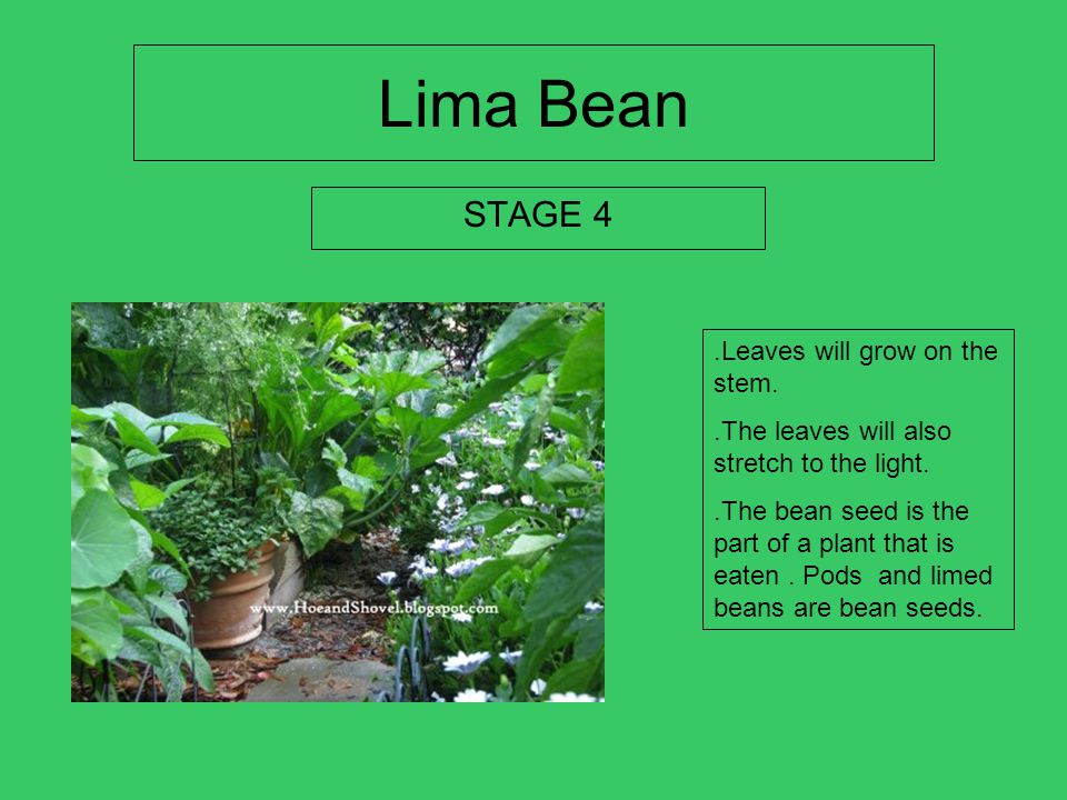 Lima Bean STAGE 4 .Leaves will grow on the stem.