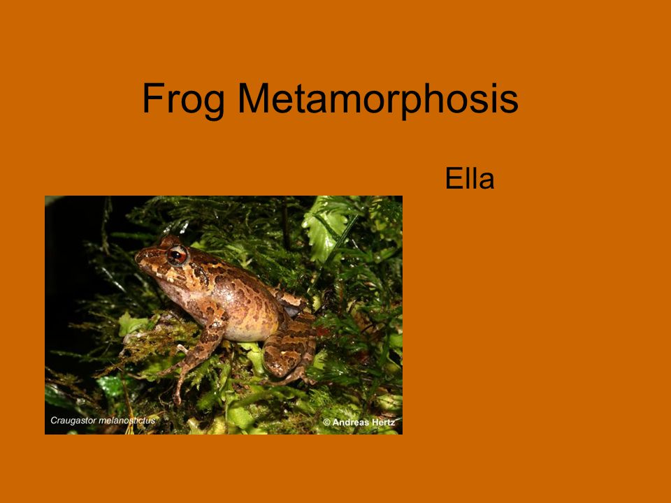 Frog Metamorphosis Ella