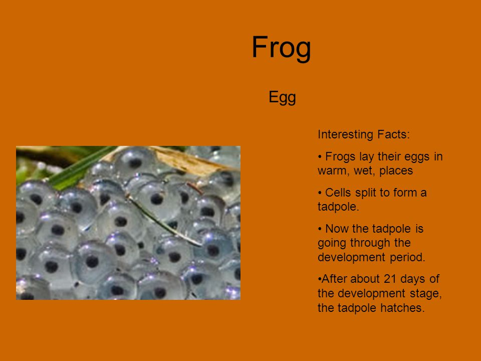 Frog Egg Interesting Facts: Frogs lay their eggs in warm, wet, places