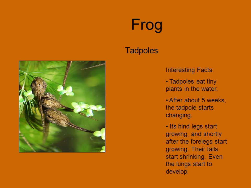 Frog Tadpoles Interesting Facts: