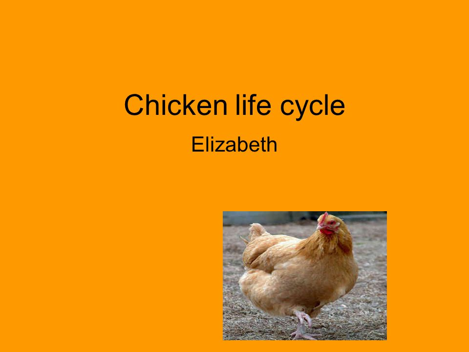 Chicken life cycle Elizabeth