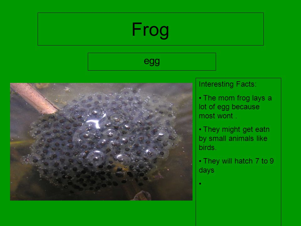 Frog egg Interesting Facts: