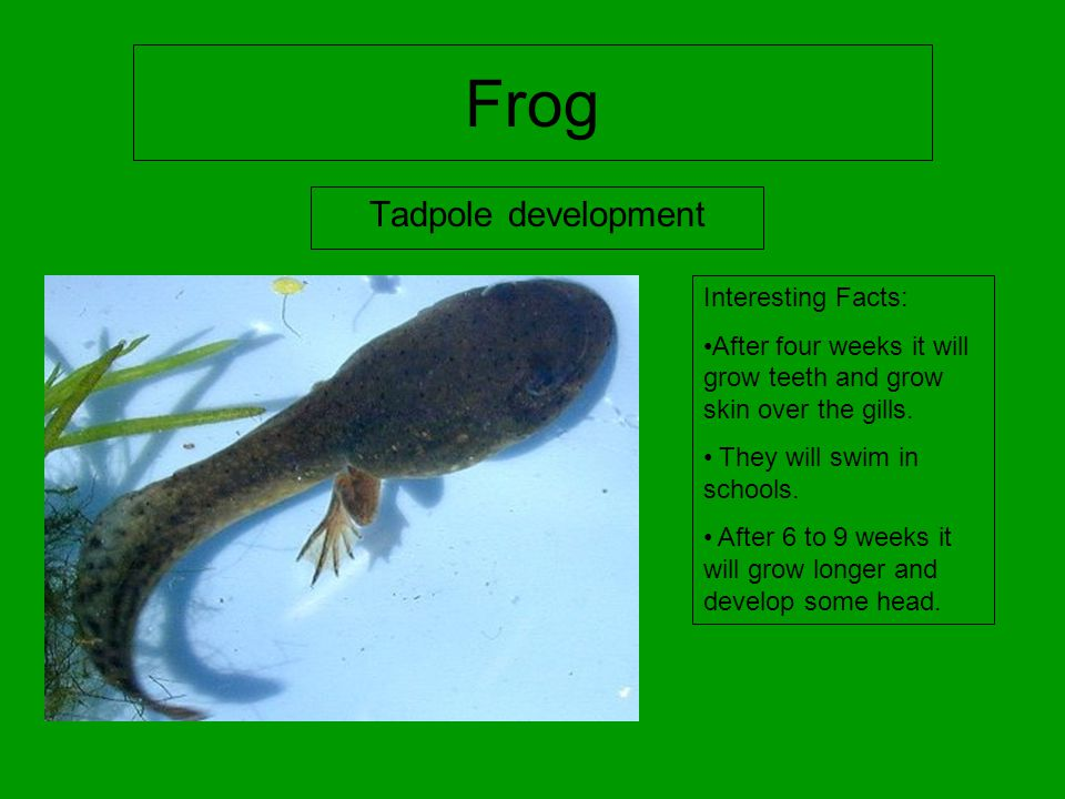 Frog Tadpole development Interesting Facts: