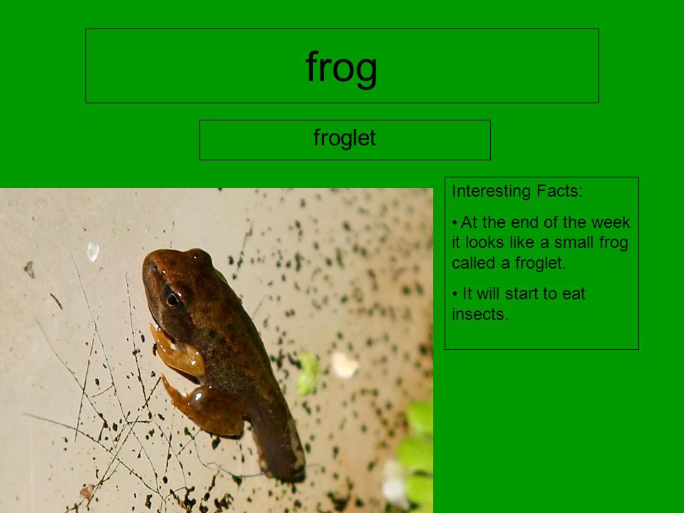 frog froglet Interesting Facts: