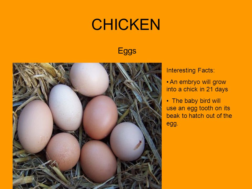 CHICKEN Eggs Interesting Facts: