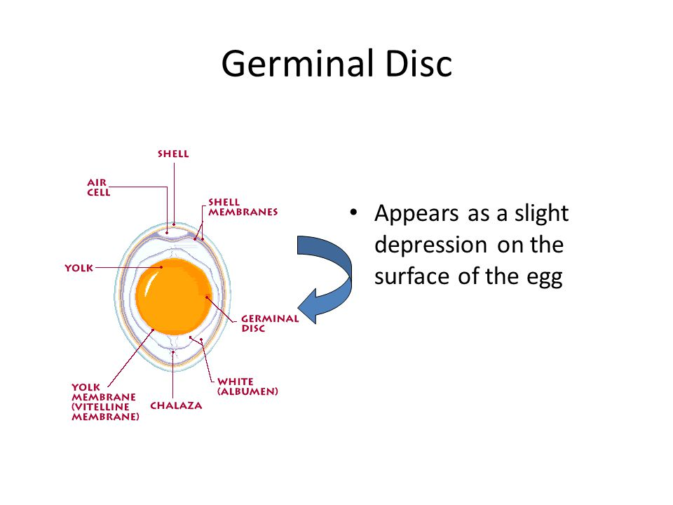Germinal Disc Appears as a slight depression on the surface of the egg