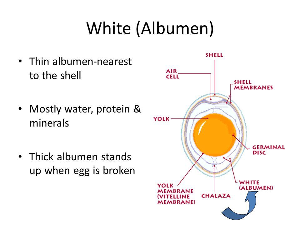 White (Albumen) Thin albumen-nearest to the shell