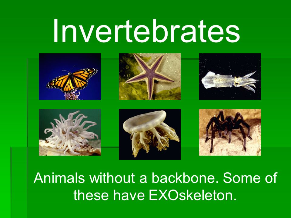 Animals without a backbone. Some of these have EXOskeleton.