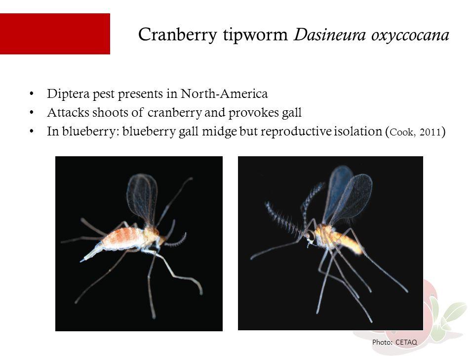 Cranberry tipworm Dasineura oxyccocana