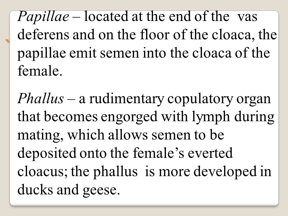 Papillae – located at the end of the vas deferens and on the floor of the cloaca, the papillae emit semen into the cloaca of the female.