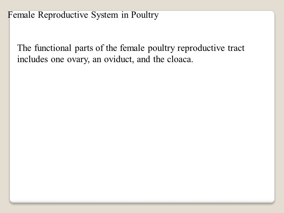 Female Reproductive System in Poultry