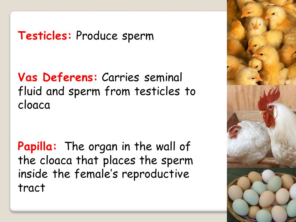 Testicles: Produce sperm
