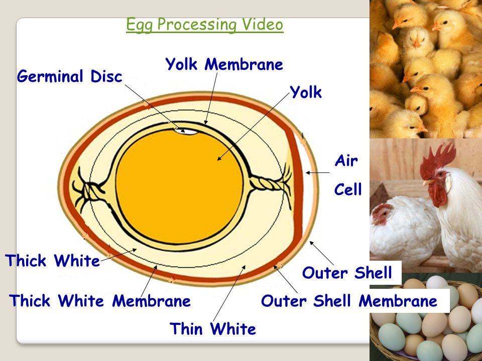 Egg Processing Video Yolk Membrane Germinal Disc Yolk Air Cell