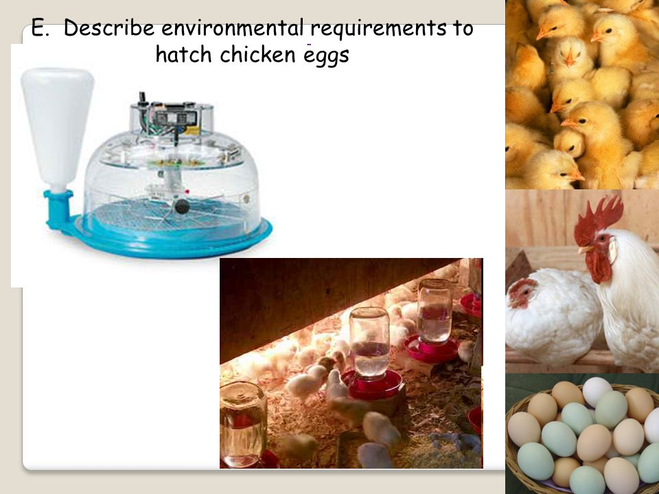 E. Describe environmental requirements to hatch chicken eggs
