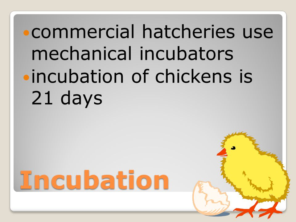 Incubation commercial hatcheries use mechanical incubators