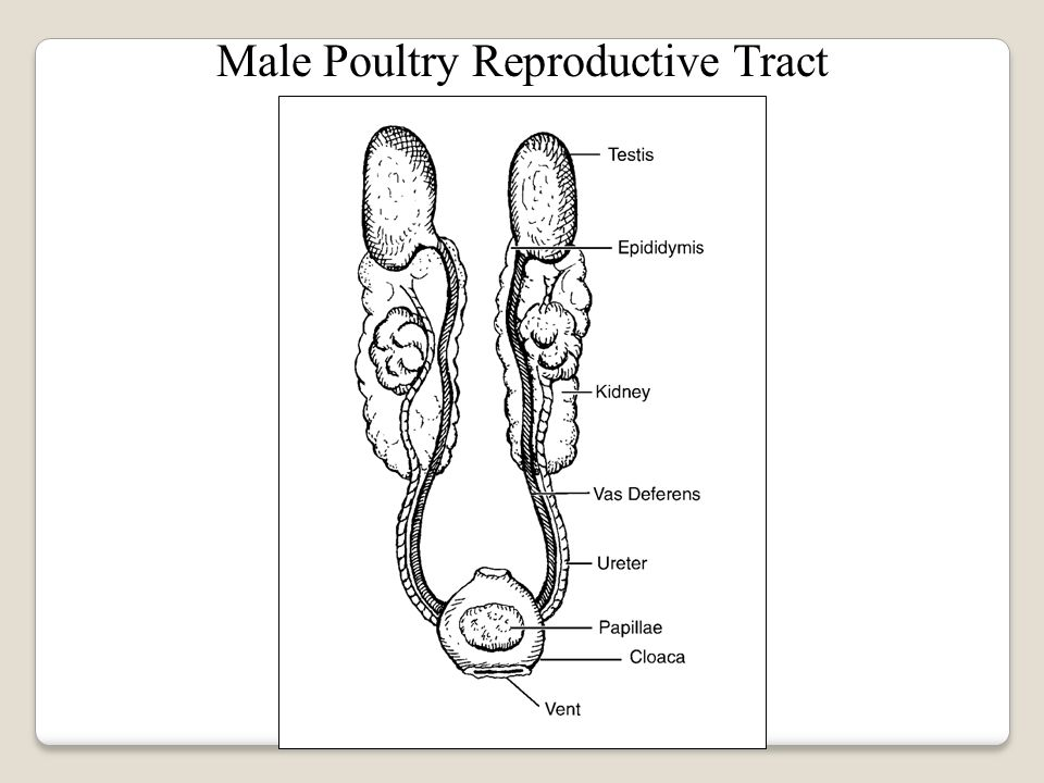 Reproduction in poultry ppt video online download 9 male poultry reproductive tract ccuart Choice Image