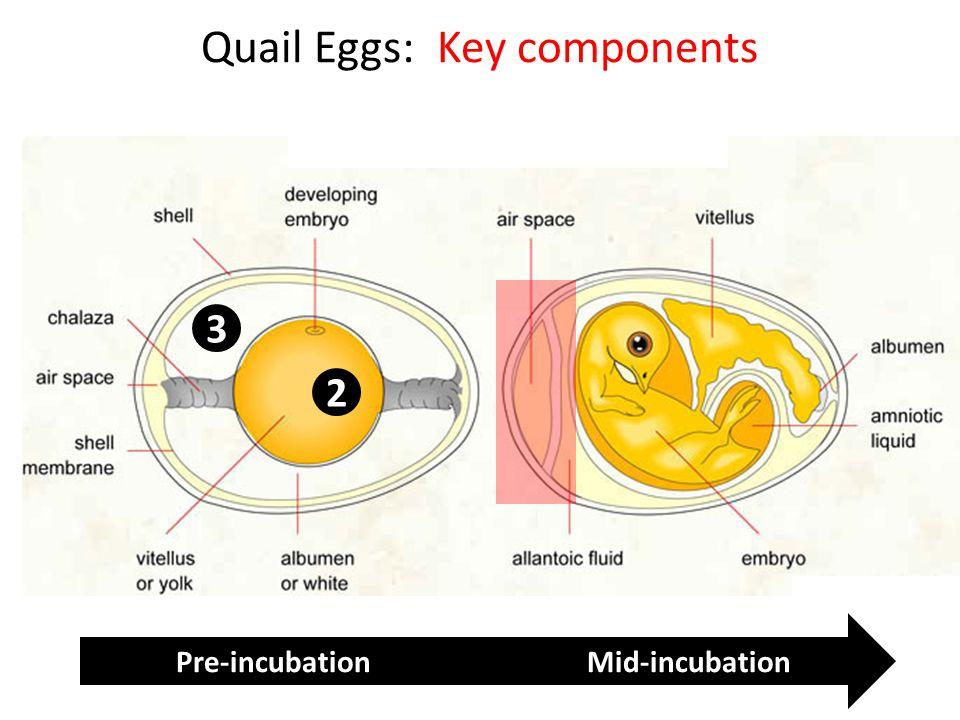 Quail Eggs: Key components