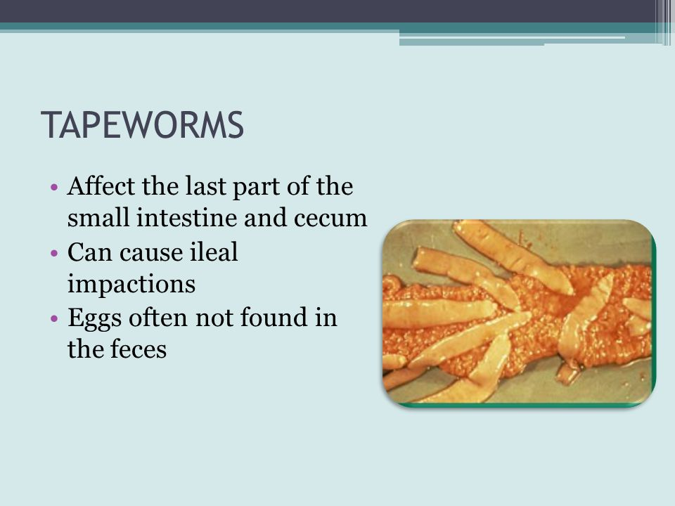 TAPEWORMS Affect the last part of the small intestine and cecum
