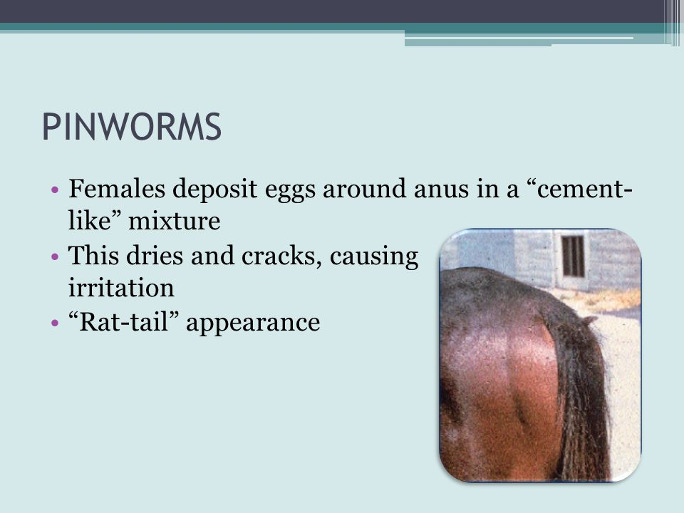 PINWORMS Females deposit eggs around anus in a cement- like mixture