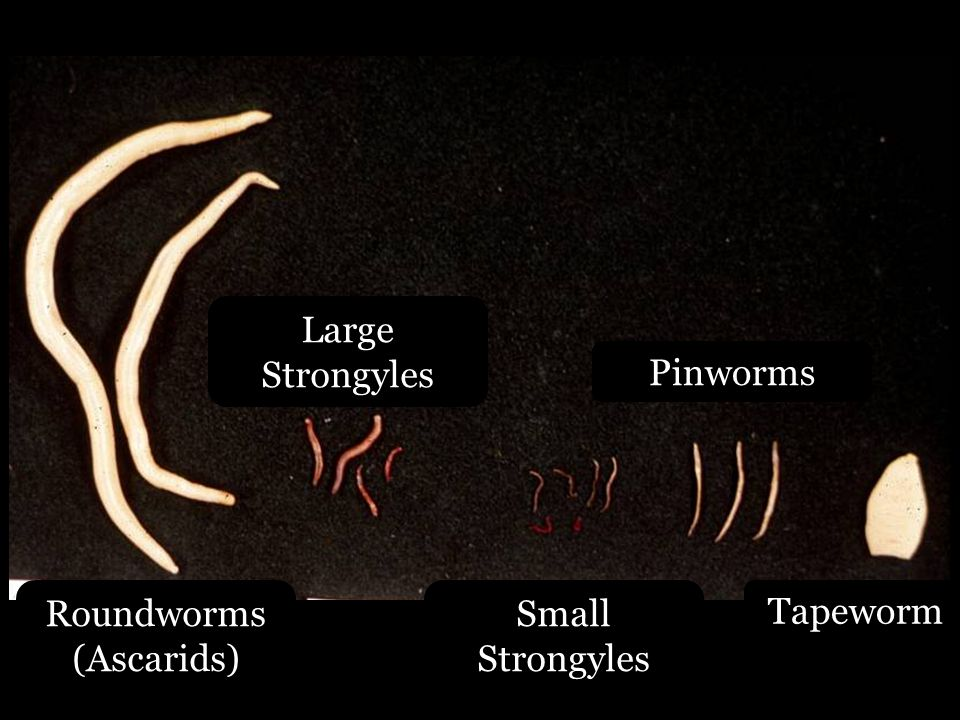 Roundworms (Ascarids)