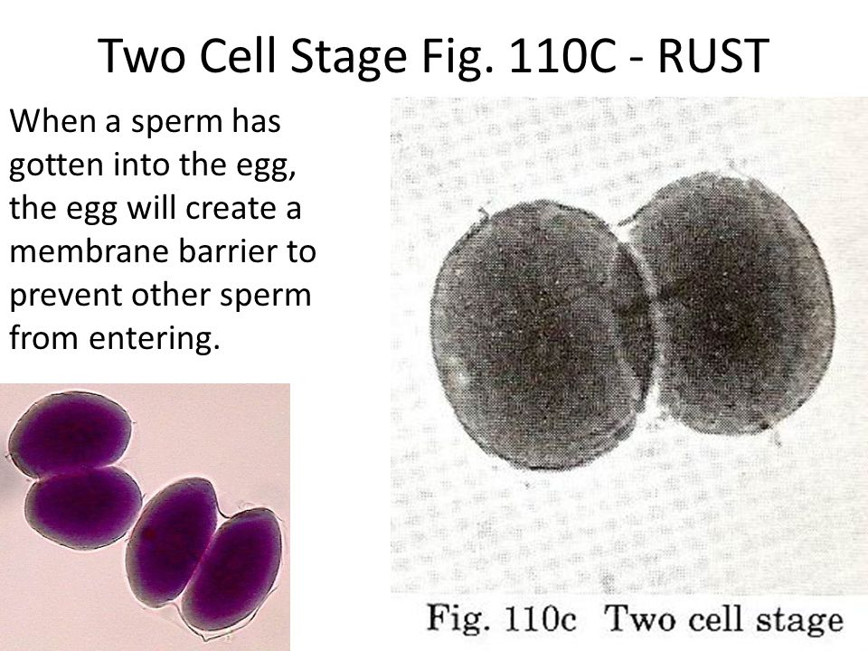 Two Cell Stage Fig. 110C - RUST