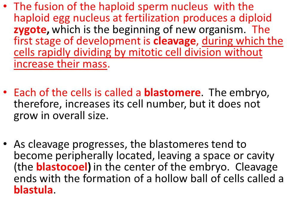 The fusion of the haploid sperm nucleus with the haploid egg nucleus at fertilization produces a diploid zygote, which is the beginning of new organism. The first stage of development is cleavage, during which the cells rapidly dividing by mitotic cell division without increase their mass.