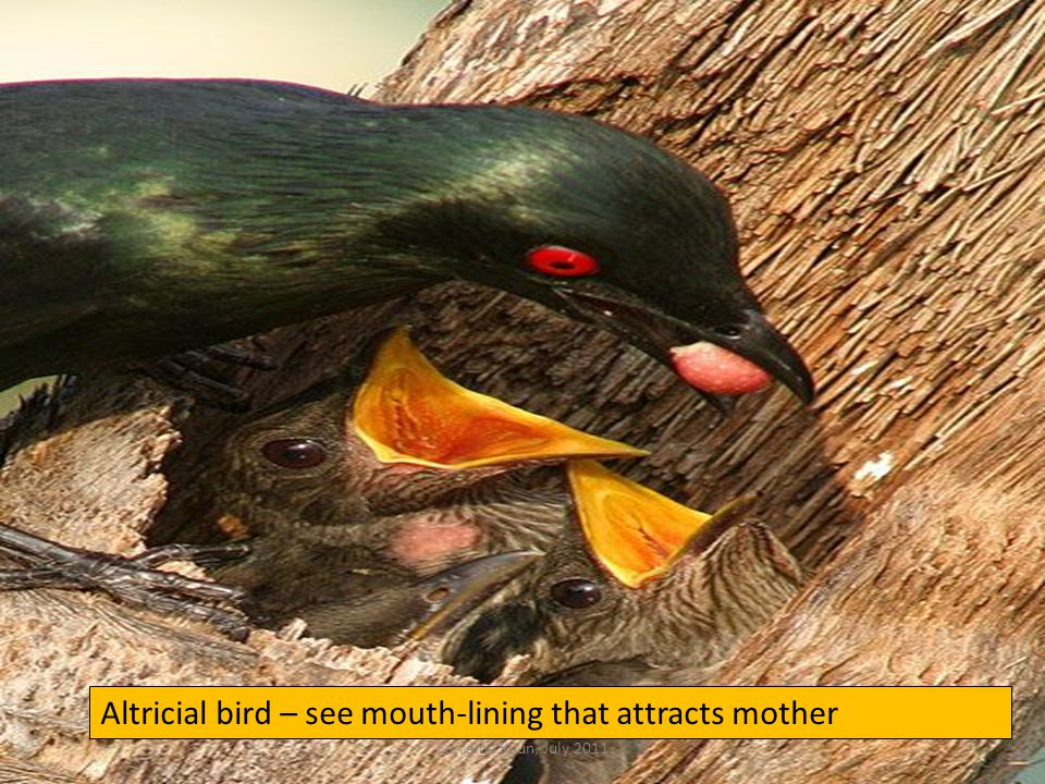 Altricial bird – see mouth-lining that attracts mother