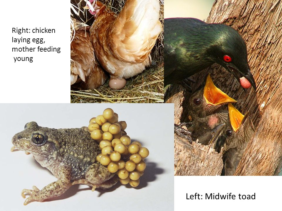 Right: chicken laying egg, mother feeding young Left: Midwife toad