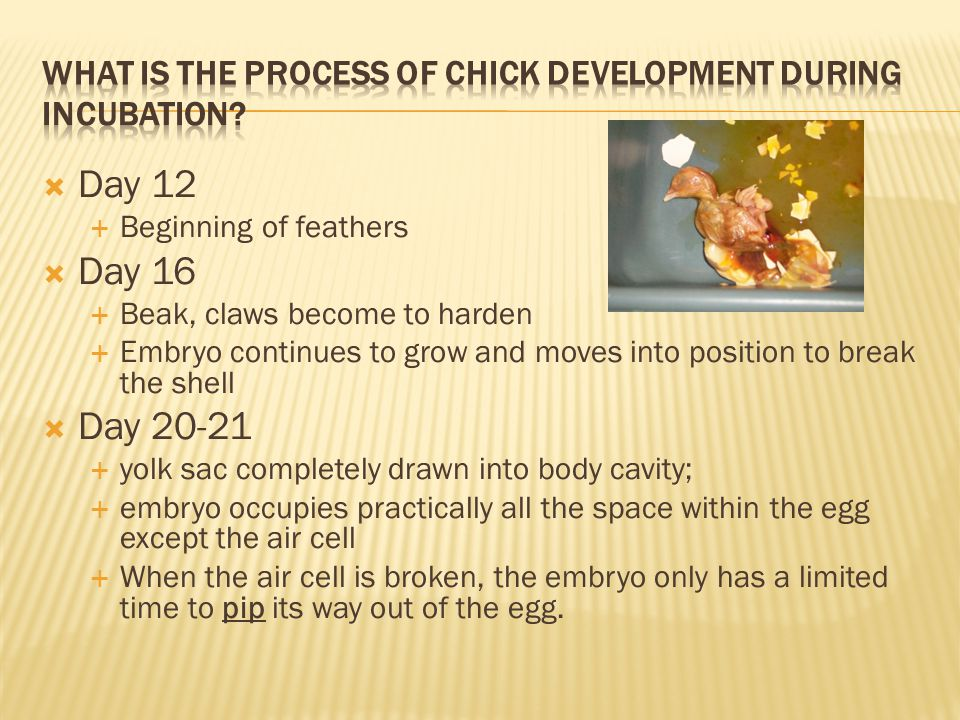 What is the process of chick development during incubation